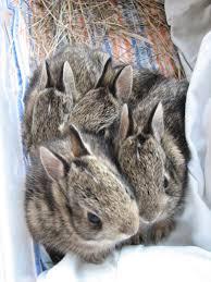 baby bunny season prairie wildlife rehabilitation centre