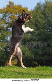 australian shepherd jumping up young australian shepherd dog jumping on meadow stock photo