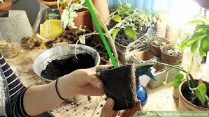 light requirements for growing tomatoes indoors how to grow tomatoes indoors 11 steps with pictures wikihow