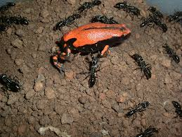chemical camo helps frog pass as ant u2014and avoid being stung