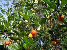fruits flowers file arbutus undedo fruits and flowers jpg wikimedia commons
