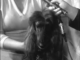 afghan hound club of america 1957 afghan hound shirkhan of grandeur awarded best in show at the
