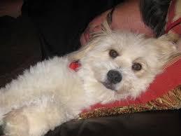 pomeranian x australian shepherd dog breeds that live the longest business insider