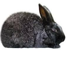 silver fox rabbit breed black recognized color