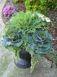lindaraxa gardening into fall ornamental kale