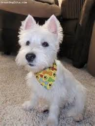 images of westie hair cuts i like this one because she still has plenty of hair but it looks