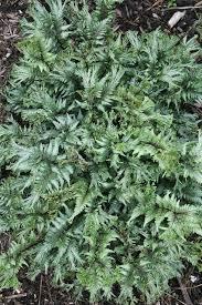 54 best garden ferns images on pinterest shade flowers flower