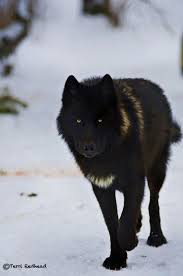 Mad Wolf Meme - 67 best wolves images on pinterest fox wild animals and grey wolves