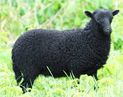 ouessant sheep breed information u0026 facts