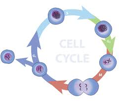 eukaryotes cell cycle learn science at scitable