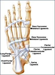 Foot Ligament Anatomy The Foot Core System A Paradigm For Understanding Intrinsic Foot