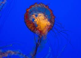 jellyfish are weird monterey bay aquarium faine opines
