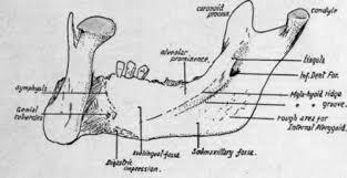 Human Jaw Bone Anatomy Lower Jaw Or Mandible Part 2
