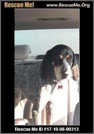 bluetick coonhound dander california bluetick coonhound rescue u2015 adoptions u2015 rescueme org