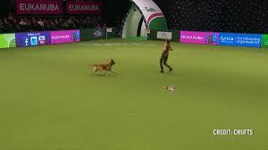 belgian shepherd us army watch incredible moment talented dog u0027performs cpr u0027 on handler at