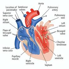Sheep Heart Anatomy Quiz Chapter 31 The Human Circulatory System Leavingcertbiology Net