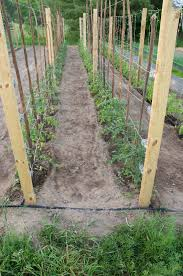 Tomatoes Trellis Some Tomato Tips Before The Season Kicks Into High Gear Ncpr News
