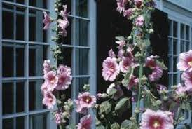 Hollyhock Flowers The Best Soil For Hollyhock Plants Home Guides Sf Gate