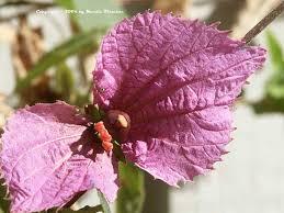 Purple Flower On A Vine - vine list vines appropriate for a california landscape
