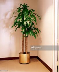 tall potted plant in corner of office stock photo getty images