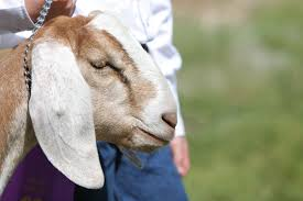 Goat Home Decor How To Raise Goats On Your Small Farm
