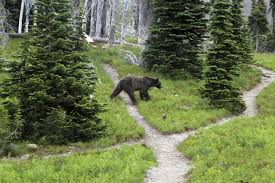 Bears Montana Hunting And Fishing - idaho moves ahead with possible grizzly bear hunting season the