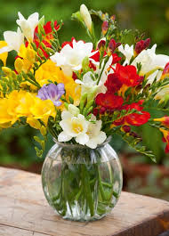 freesia flower how to plant and grow freesias