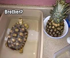 Funny Turtle Memes - i can has cheezburger turtles funny animals online cheezburger
