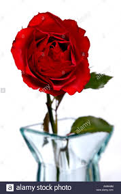 red rose in a glass vase stock photo royalty free image 16501171