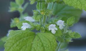 the herb gardener how to grow lemon balm melissa officinalis