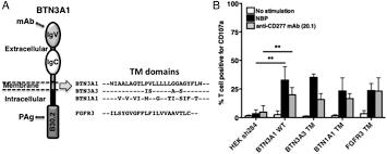 the juxtamembrane domain of butyrophilin btn3a1 controls