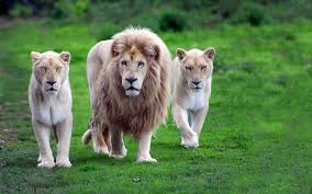 male lion wallpapers lion animals wallpaper images dowload background wallpapers free