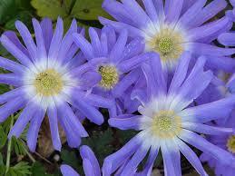 Purple Lillies Free Photo Lilies Flowers Jerusalem Lily Lilac Purple Blossom