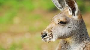 the mystery of kangaroo adoptions national geographic