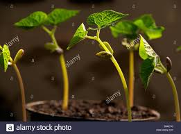 cherokee trail of tears climbing french bean young plants being