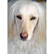 afghan hounds for adoption afghan hound golden retriever mix wag more less