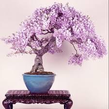 free shipping lilac mini bonsai wisteria tree seeds indoor