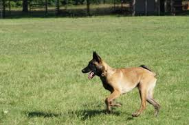 belgian shepherd usa view ad belgian malinois puppy for sale oklahoma noble usa