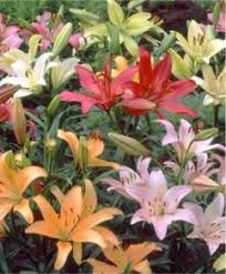 Lilies Flower Naturalizing Lily Mixtures Hardy Lilies Flower Bulb Index
