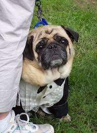 in costumes 35 sad pugs in costumes damn cool pictures