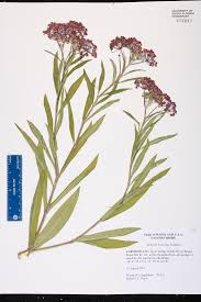 native plants of maryland asclepias incarnata species page isb atlas of florida plants