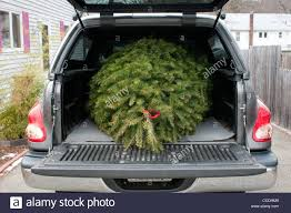 Christmas Tree Pick Up A Christmas Tree In The Back Of A Pickup Truck Stock Photo