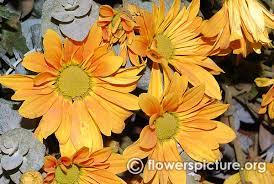 chrysanthemum flower varieties