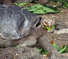 galápagos tortoise wikivisually