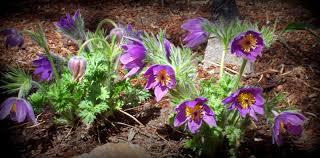 montana native plants flora montana pasqueflower