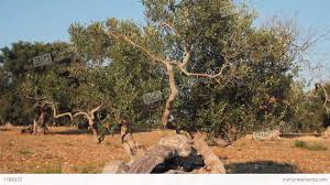 olive tree with twisted trunk stock video footage 1188373