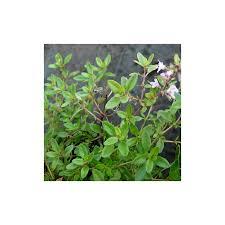 thym serpolet cuisine thym serpolet thymus serpyllum arom antique 450 aromatiques bio