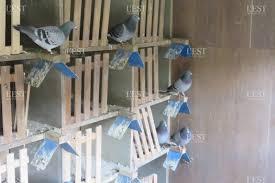 cuisine des pigeons voyageurs insolite les pigeons retrouvent la trace de leur éleveur