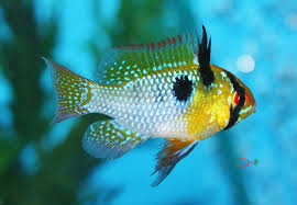 freshwater fish absolutely fish blogs the beauty of the german blue ram