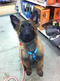 belgian shepherd kentucky american kennel club lexington louisville dog training